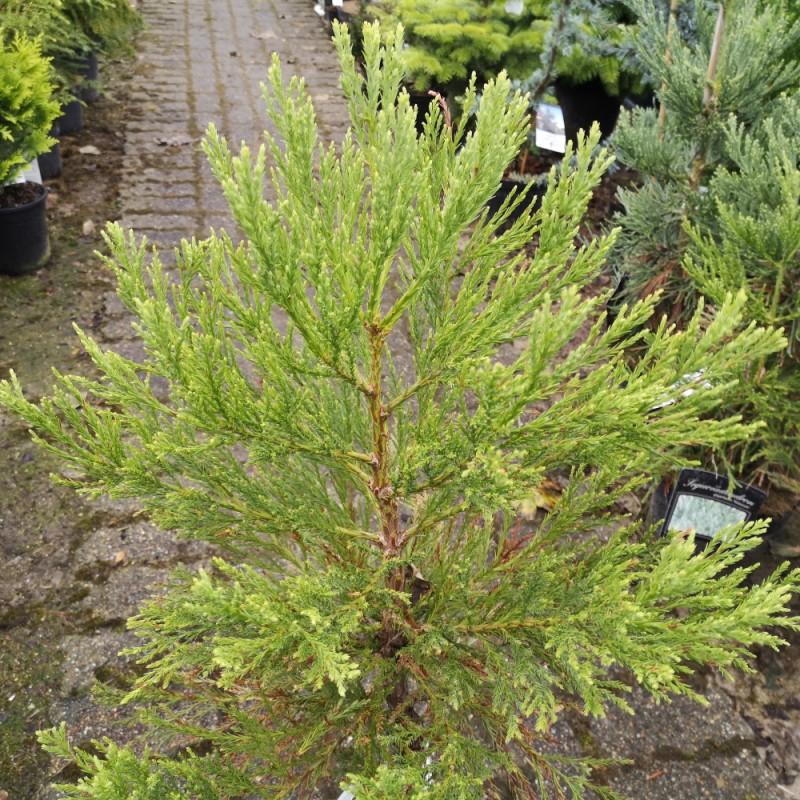 Sequoiadendron Giganteum - Mammuttræ / 50-60 cm.