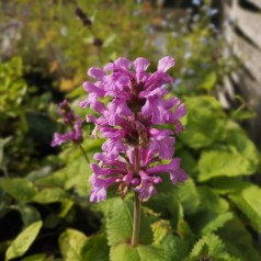 Stachys grandiflora Superba / Havebetonia