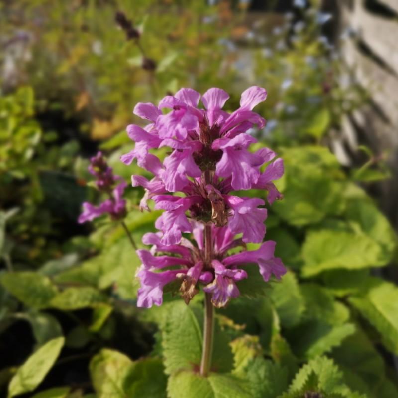 Stachys grandiflora Superba / Havebetonia