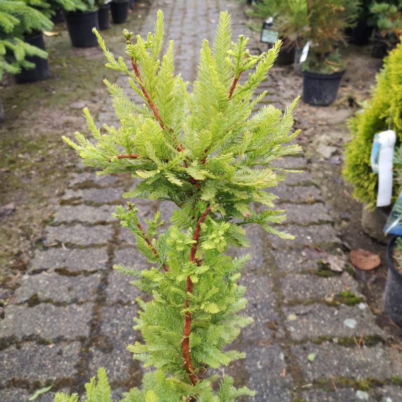 Taxodium distichum Pevé Minaret - Sumpcypres / 30-40 cm.