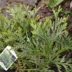 Thujopsis dolobrata - Hønsebenstræ / 30-40 cm.