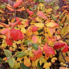 Viburnum burkwoodii - Duftsnebolle