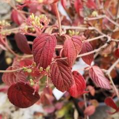 Viburnum plicatum Summer Snowflake - Japansk Snebold