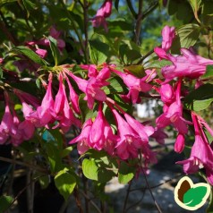 Weigela florida Pink Princess - Klokkebusk