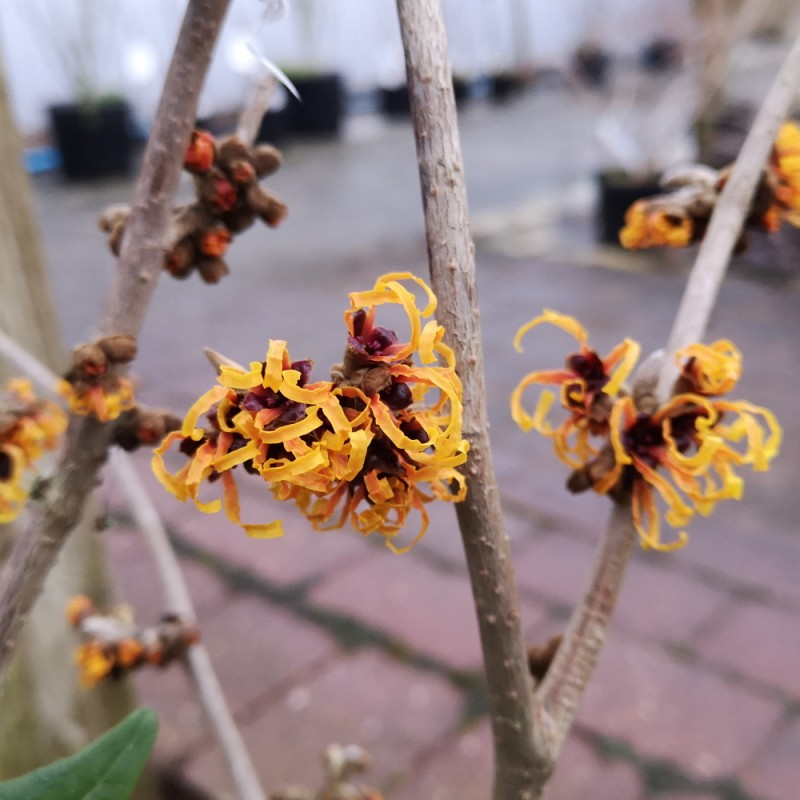 Hamamelis intermedia Orange Beauty / Troldnød