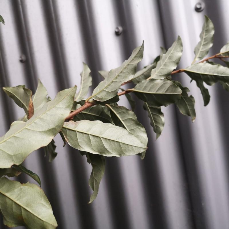 Elaeagnus umbellata - Skærmsølvblad