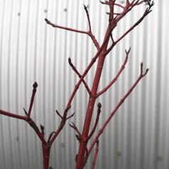 Cornus alba Sibirica Variegata / Hvidrandet Kornel