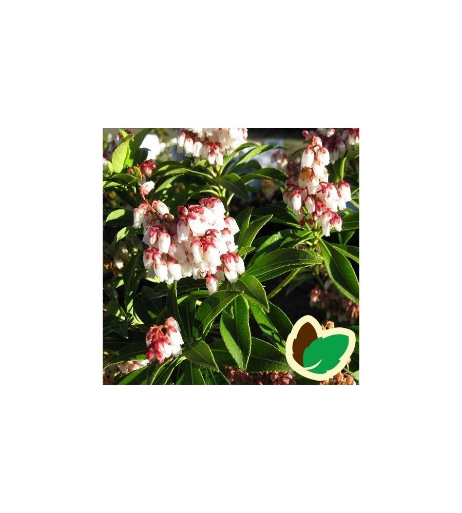 Pieris japonica Cupido