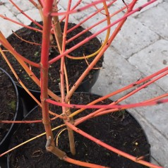 Cornus sanguinea Midwinter Fire - Kornel