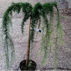 Larix decidua Puli - Hængelærk / 110 cm. stamme.