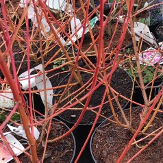 Cornus sanguinea Winter Beauty