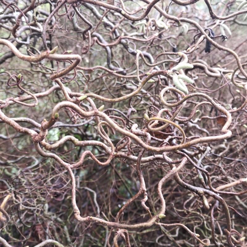 Corylus avellana Contorta - Troldhassel