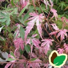 Acer palmatum Taylor / Japansk Løn / Japansk Ahorn
