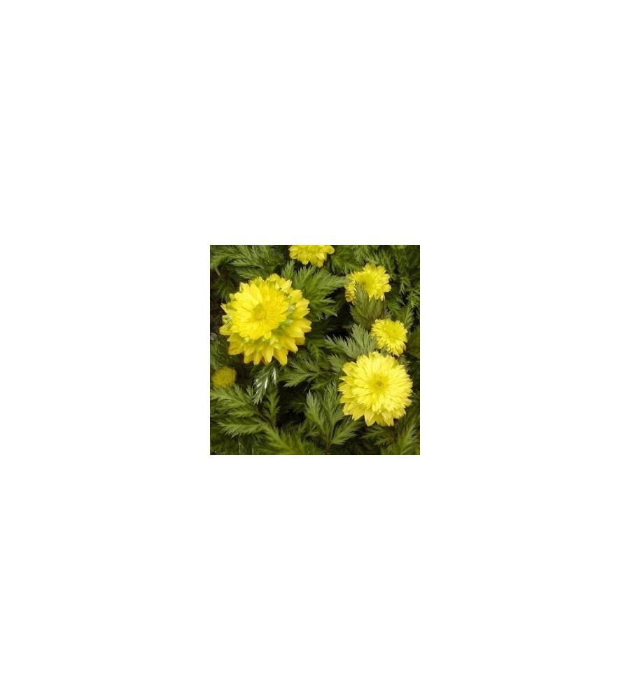 Adonis amurensis Pleniflora / Adonis