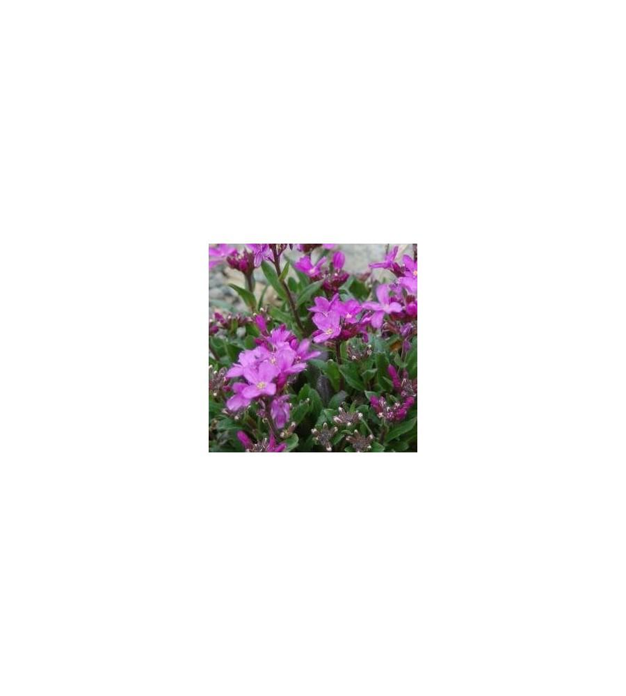 Arabis blepharophylla Rote Sensation / Kalkkarse