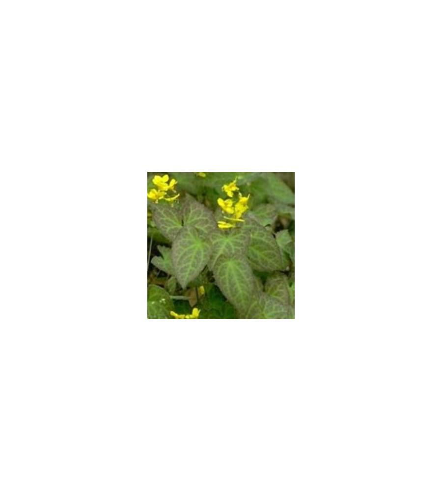 Epimedium perralchicum Frohnleiten / Bispehue