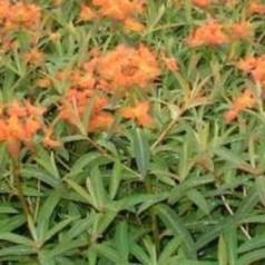 Euphorbia griffithii Fireglow / Vortemælk