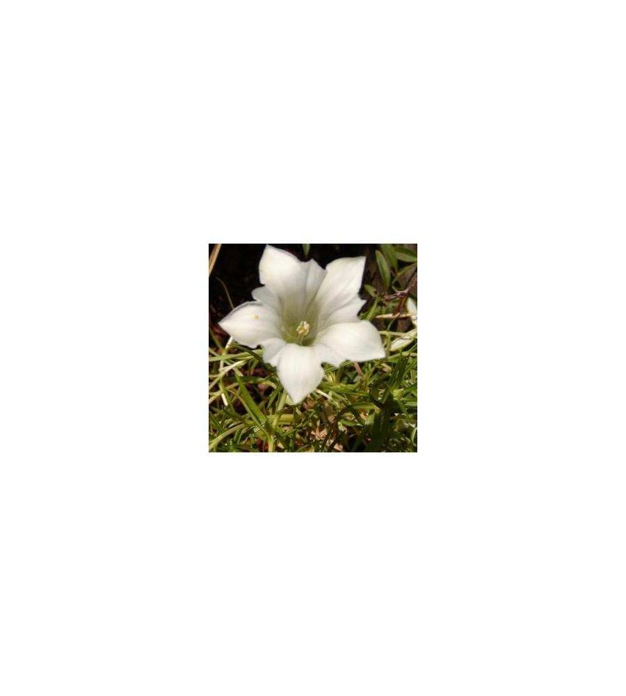 Gentiana sino-ornata Weise Traum /  Efterårsensian