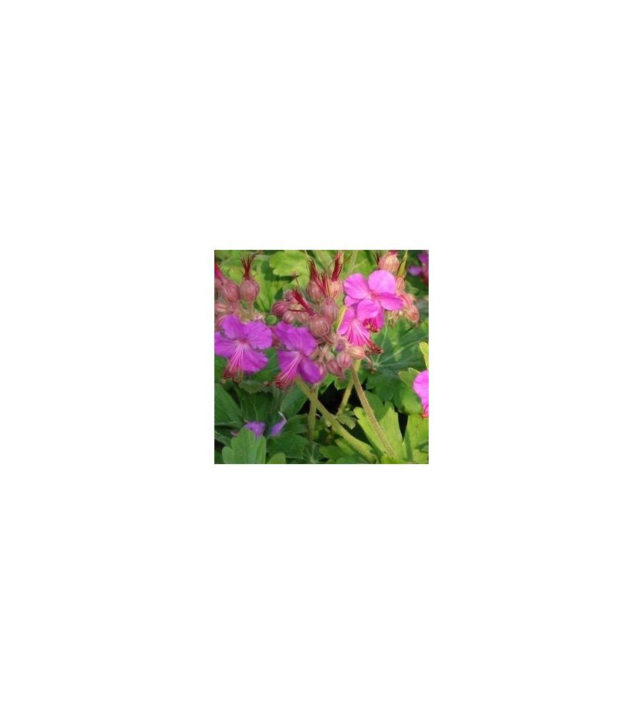 Geranium macrorrhizum Bevan's Variety / Geranium