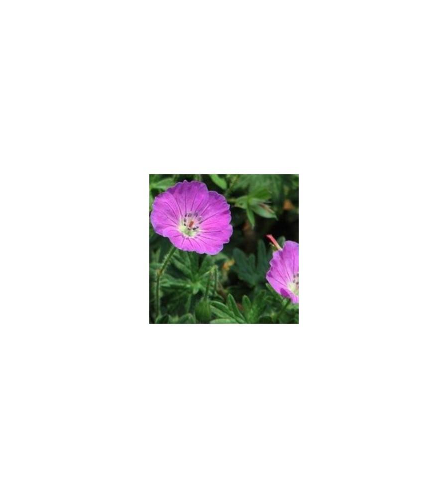 Geranium hybrid Pink Penny / Storkenæb