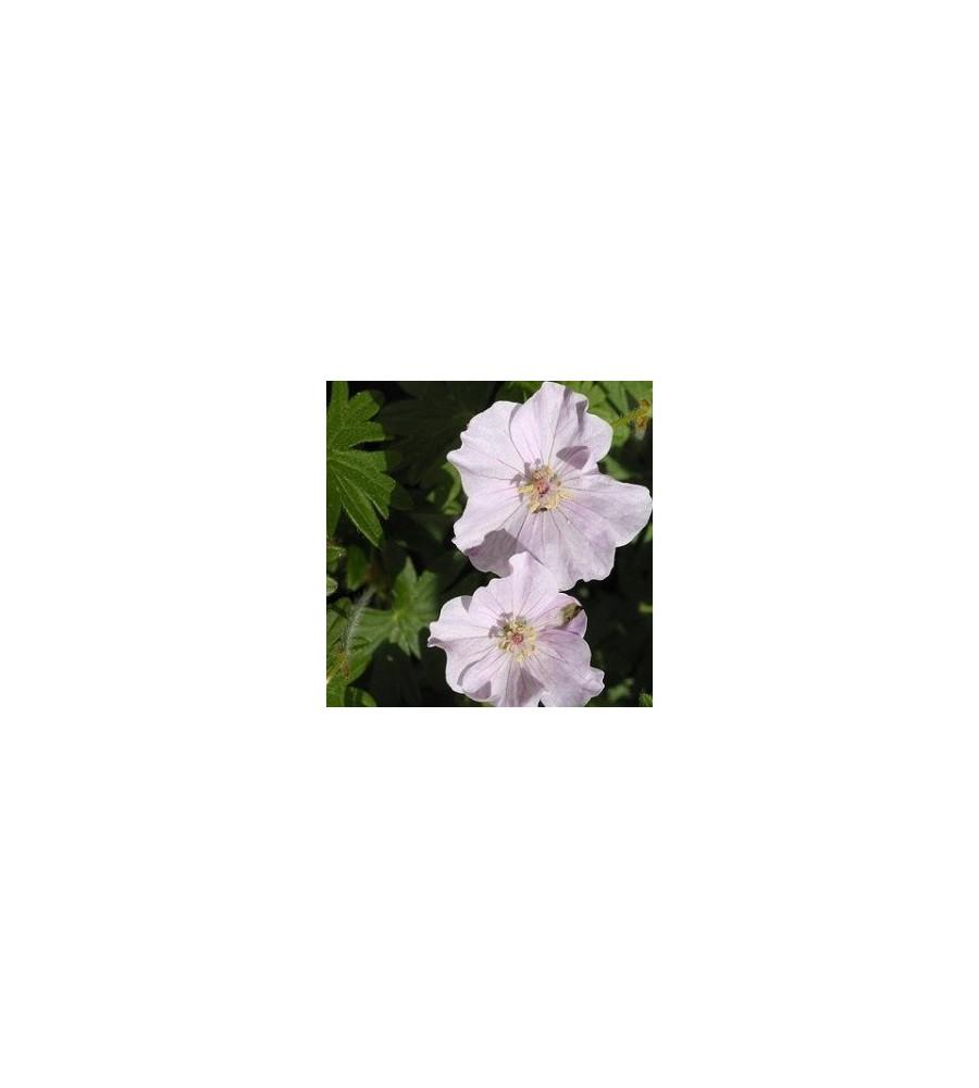 Geranium sanguineum Apfelblüte / Storkenæb
