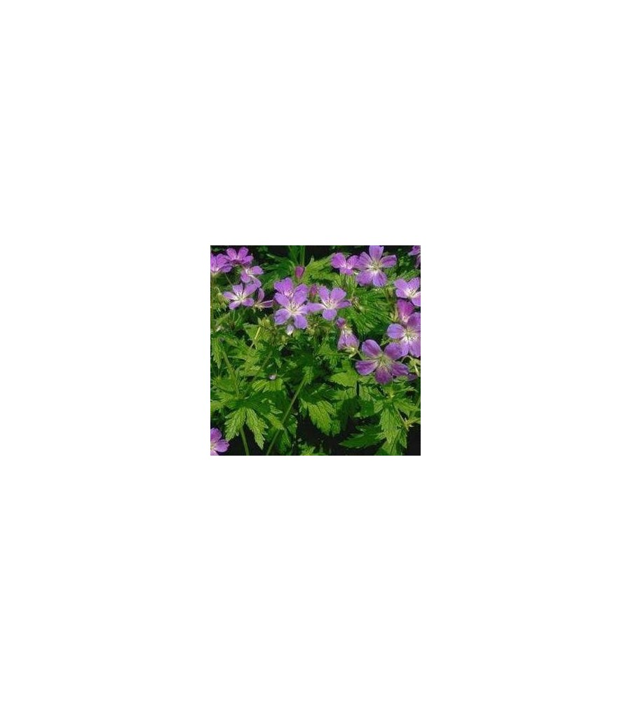 Geranium sylvaticum Mayflower / Skov-Storkenæb