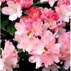 Rhododendron Yakushimanum Dreamland