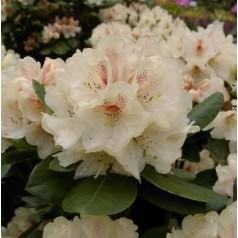 Rhododendron hybrid Goldbukett