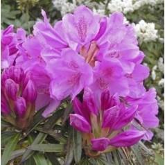 Rhododendron hybrid Graziella