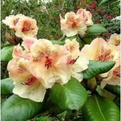 Rhododendron hybrid Viscy