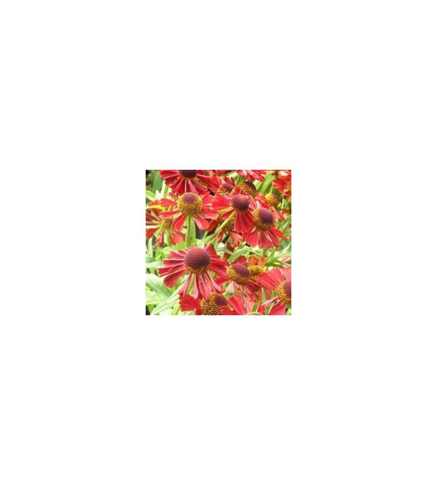 Helenium hybrid Ruby Tuesday / Solbrud