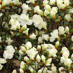 Rhododendron Rigmor - Azalea Japansk