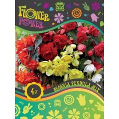 Begonia Pendula Mix - 4 løg - FlowerPower
