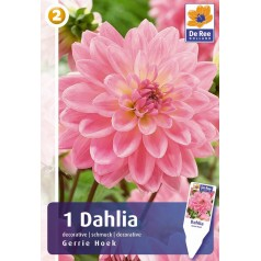 Dahlia Decorative Gerrie Hoek