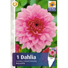 Dahlia Decorative Rosella