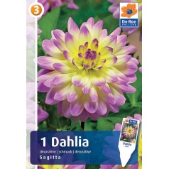 Dahlia Decorative Sagitta / Georgin - 1 Løg