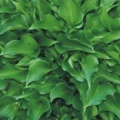 Hosta hybrid Harry Van Trier / Funkia