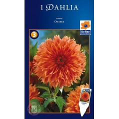 Dahlia Fubuki Orange