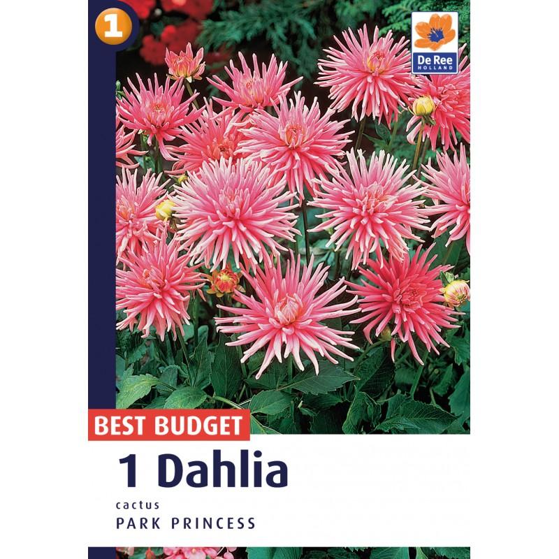 Dahlia Cactus Park Princess