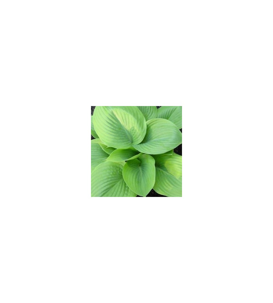 Hosta hybrid Sum and Substance / Funkia