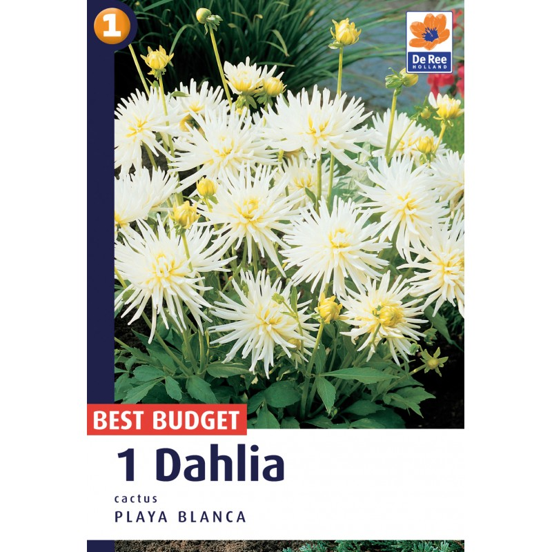 Dahlia Cactus Playa Blanca - Georgin