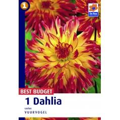 Dahlia Cactus Vuurvogel