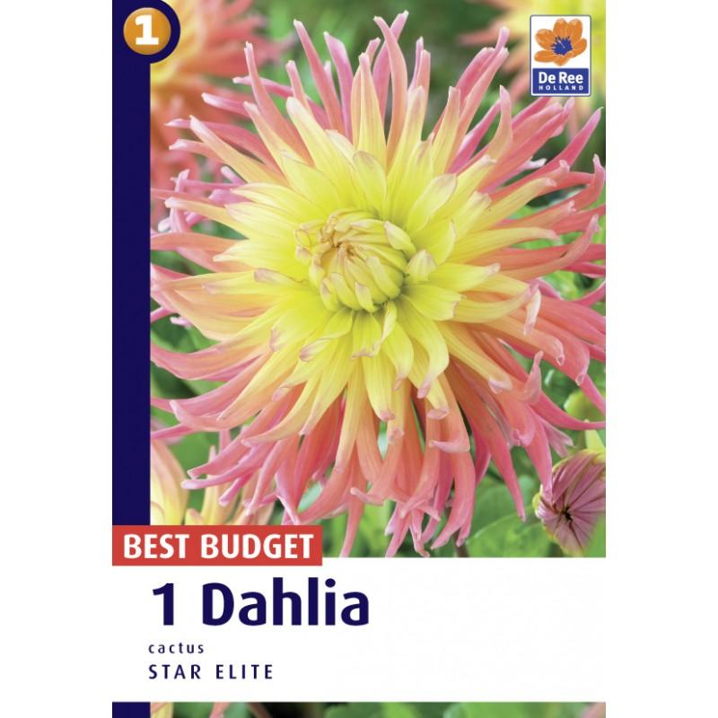 Dahlia Cactus Star Elite