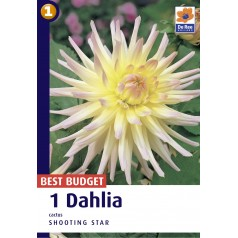 Dahlia Cactus Shooting Star