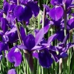 Iris sibirica hybrid Caesars Brother / Iris