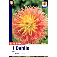 Dahlia Cactus Fringed Star / Georgin - 1 løg