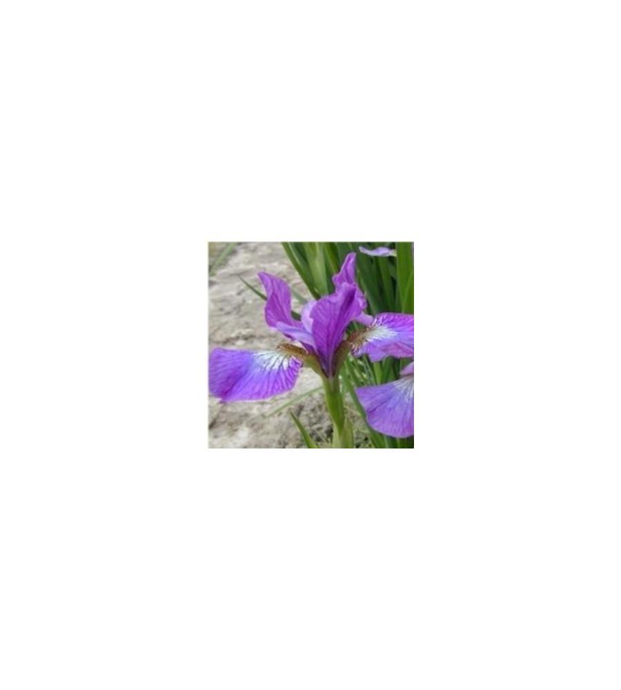 Iris sibirica hybrid Sparkling Rose / Iris