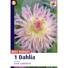 Dahlia Cactus Star Surprise / Georgin