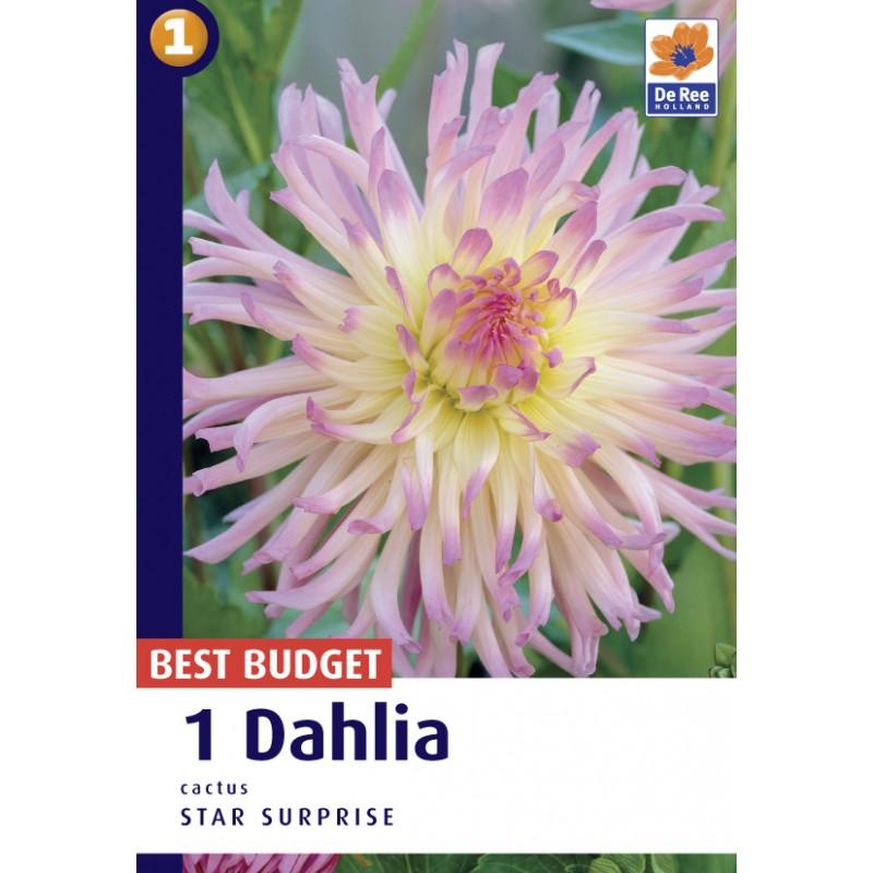 Dahlia Cactus Star Surprise / Georgin
