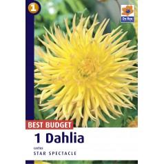 Dahlia Cactus Star Spectacle